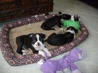 Fun Loving Boston Terriers Male and Female Available -