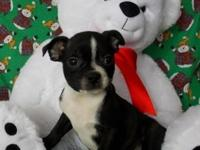 Cute little Boston Terrier puppies are prepared for