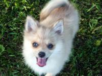 Currently available is 1 purebred Pomeranian female