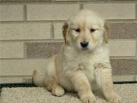 FWER Golden Retriever puppies for adoption.Good