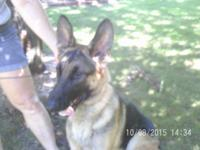 Two one year old female German Shepherds looking for