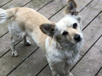 Gabby is a 1 1/2 year old Corgi Spaniel mix., She is an