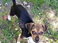 My story Gable is a lively 8 month old Beagle mix