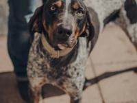 Gage is a 2 year old 57 lb. male Bluetick Coonhound.