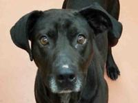 Gage is an approximately 4 year old male black Lab mix.