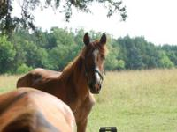 Gaited - Blitz - Large - Adult - Male - Horse Blitz is