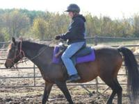 Gaited - Chocolate - Medium - Adult - Female - Horse
