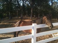 Gem is a sweet natured gelding 14 years old that has