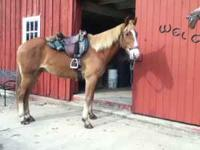 For your consideration: 12 yr. old Gaited Gelding 15.2