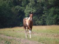 Gaited - Little John - Medium - Adult - Male - Horse