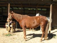 Gaited - Prissy - Extra Large - Young - Female - Horse