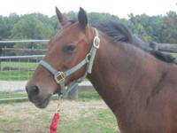 Gaited - Sage - Medium - Adult - Female - Horse Sage is