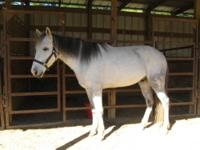 Gaited - Shadow - Extra Large - Baby - Male - Horse