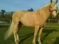 Gaited / Missouri Fox Trotter ?Rosie? (Mare) FOR SALE $