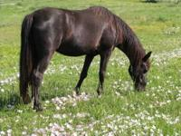 Gaited - Cocoa - Medium - Senior - Female - Horse Cocoa