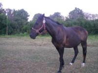 I have a 14yr old saddle horse for sale. He is 15 hands