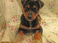 My story 20-d01-011 GallantBreed: Heeler Mix Size:
