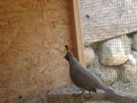i have 2 pairs of gamble quail $50 each pair.sale & 1