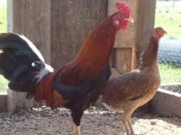 We have a pen of game birds for sale. 1 rooster and 6