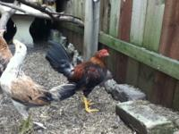 Call Joe .I have Roosters/Chickens 15 weeks old. All