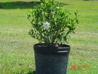 BLOOMING Gardenia / Augusta Beauty in a 10 galllon