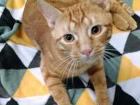 Garfield is a 2.5 y/o male Domestic Short Hair, 11.4