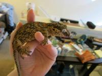 Female gargoyle gecko roughly 2 years old, she is very