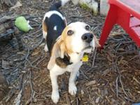 Garth Brooks is a 7 year old tri-color male Beagle. He