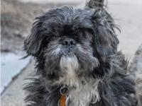 This sweet Lhasa Apso mix is looking for a home with