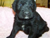 1st generation BLACK Labradoodle Young puppy: All set
