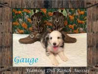 Cattle ranch Raised ASDR Toy / Mini Aussie Puppies.