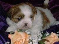 We have this adorable Shih Tzu male puppy. he has a