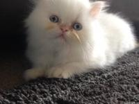 Pampered Persians are pleased to announce two beautiful