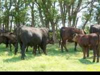 Gelvieh cattle, can be registered. We have 4 black