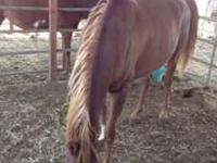 7yr old Arabian gelding for sale broke moves real nice