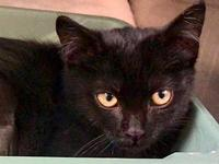 Gem's story Pretty little Black DSH Female Kitten Sweet