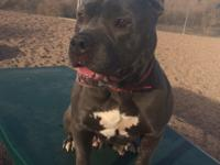 Gemma is a 5-year-old, 65 lb. female spayed blue nose
