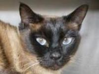 Gemma's story I'm a beautiful Siamese mix with pretty