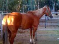 I am a very gentle quarter horse gelding who loves
