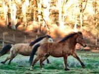 $350 EACH ~ Help save the wild mustangs! I want to
