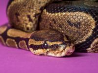George is an adult male Ball Python. He has a great