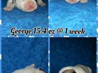 George is a handsome White & Fawn French Bull Tzu. Dam