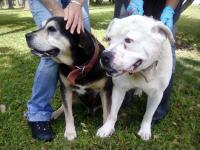 Precious pair of older male bulldog mixes, about 7