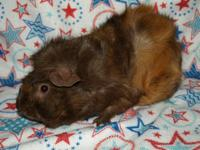 George is one of many Guinea Pigs at STAR Foundation.