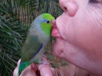 This is the most amazing little green parrotlet we have
