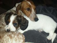 Georgeous Mini Dacshund puppy. Sable piebald long