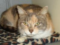 Georgette is a beautiful dilute calico (blue/cream)