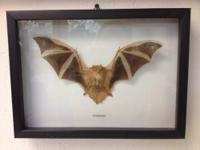 "Georgina Kerivoula Picta Taxidermy Bat 11.5"" x 8.5"""