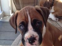 I HAVE 6 BEAUTIFUL, RUINED BOXER PUPPIES. THERE ARE 3