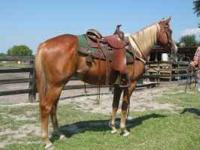 LEROY IS A BEAUTIFUL REGISTERED 3 YR OLD GELDING, 15